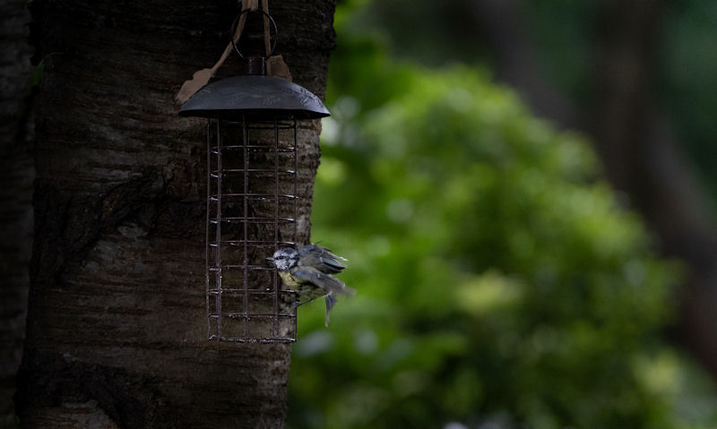 Lonely Blue Tit perched on empty fat ball feeder within dark woods