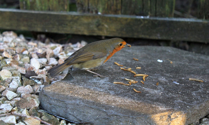 How to feed dried mealworms to birds