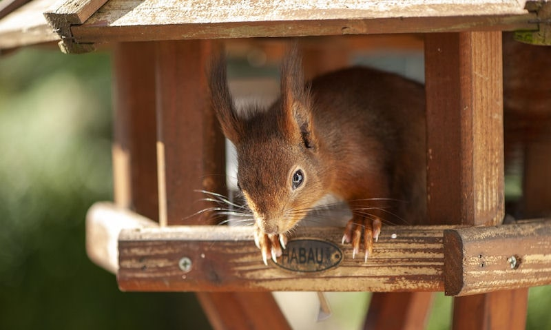 Squirrel sitting in underside of covered bird table on stand