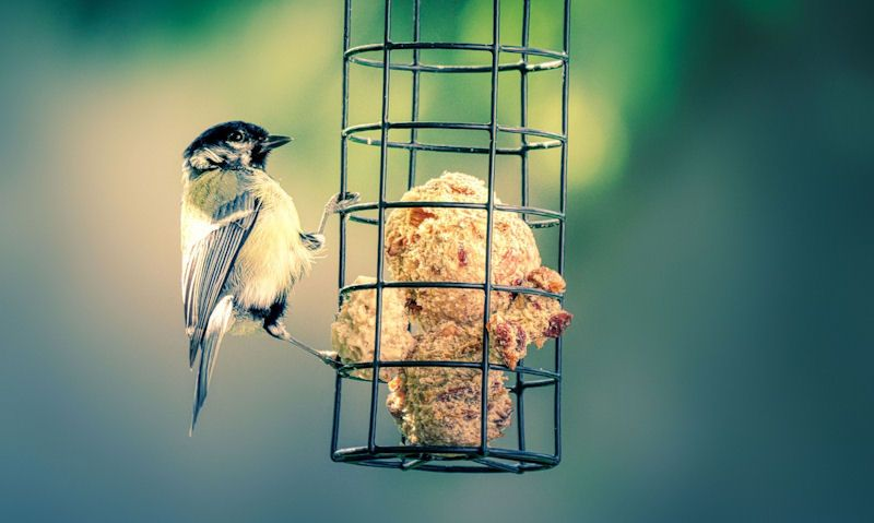 How to make bird suet