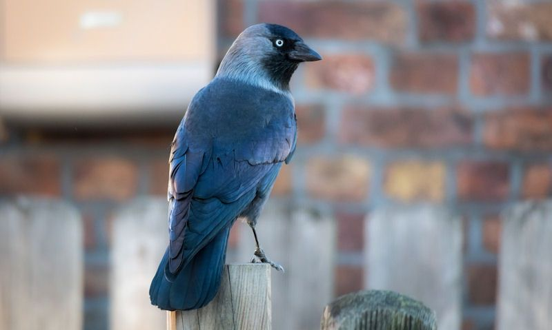 Jackdaw perched on fence post