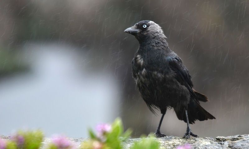 Jackdaw in the rain