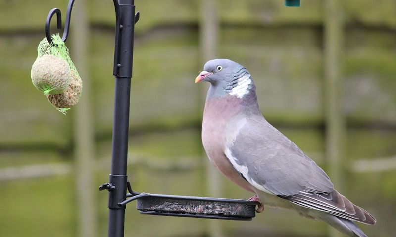 Pigeon standing on feeder staring out suet balls