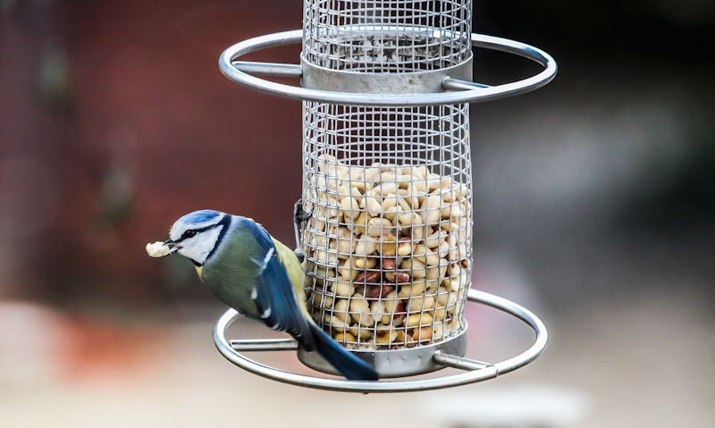 Blue Tit perched on large peanut feeder while holding nut in mouth
