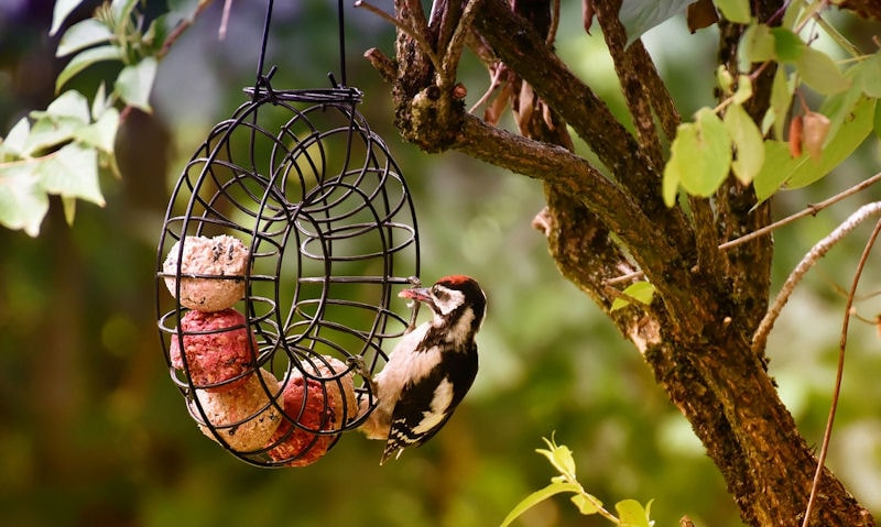 Lesser Spotted Woodpecker feeding off fat ball in mesh ring