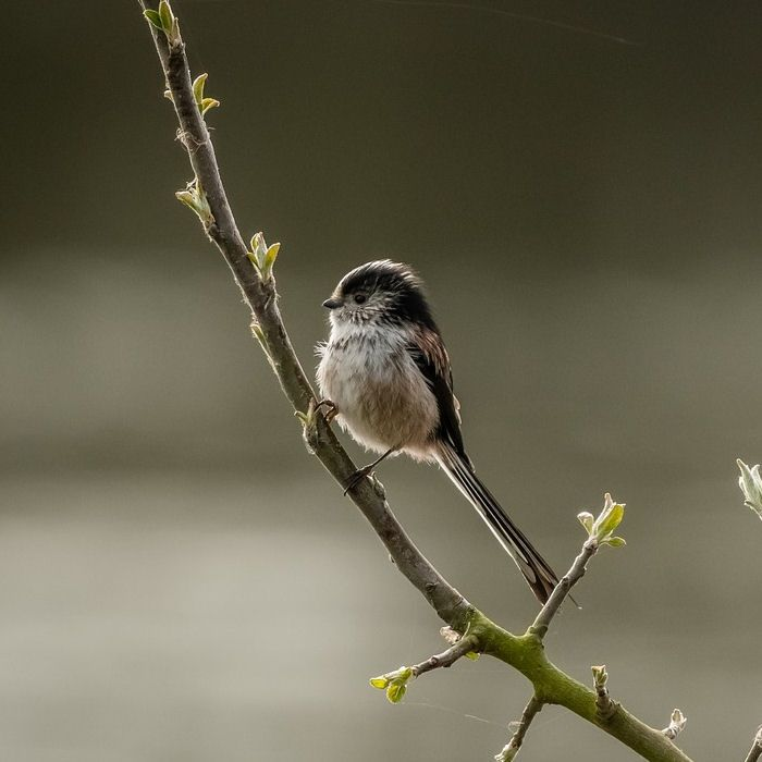 Long-tail Tit perched on delicate branch