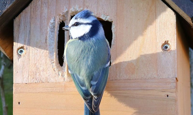Blue Tit perched outside bird box with altered entrance hole