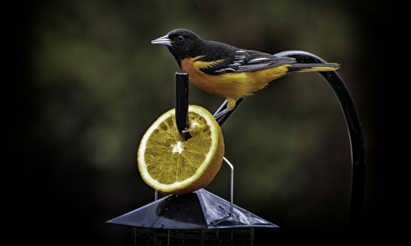 Oriole bird perched on orange