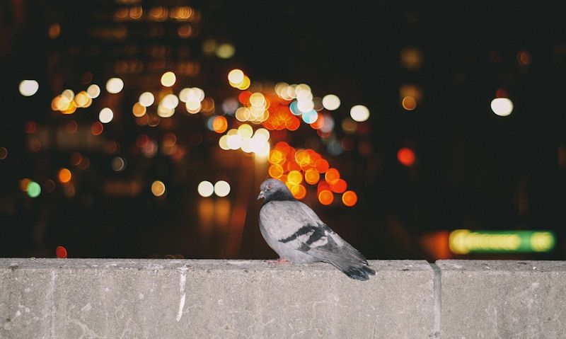 Pigeon perched on concrete wall