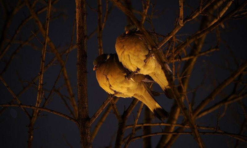 Pigeons perched on tree branch at night