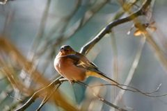 Reating Chaffinch