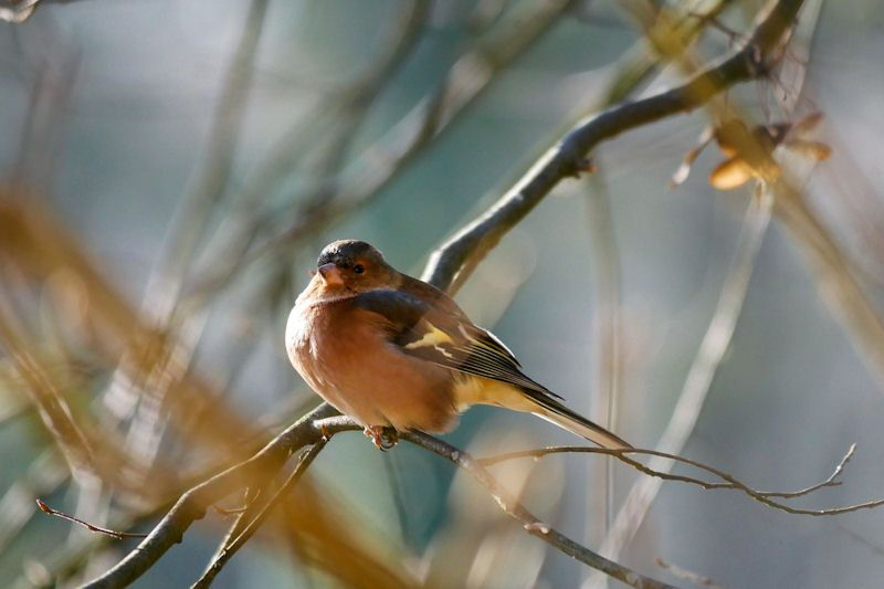 Resting Chaffinch perched