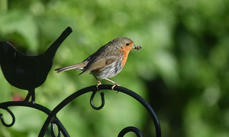 Robin perched on metal bracket