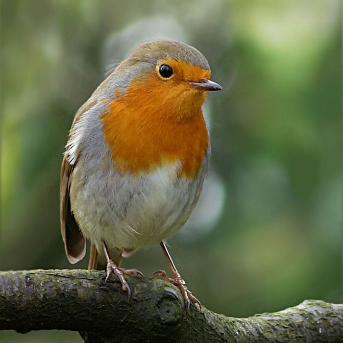 Robin looking on well perched on branch