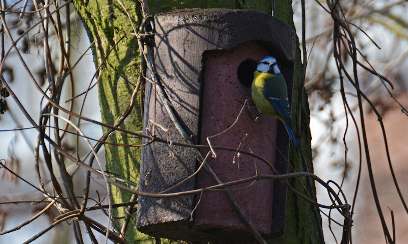 Woodcrete bird box fixed to tree with Blue Tit perched on entrance hole