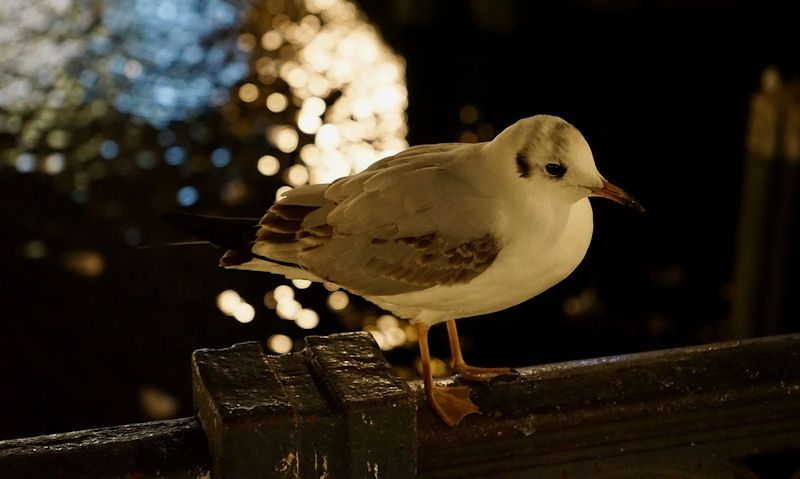 Seagull perched on seafront wall at night