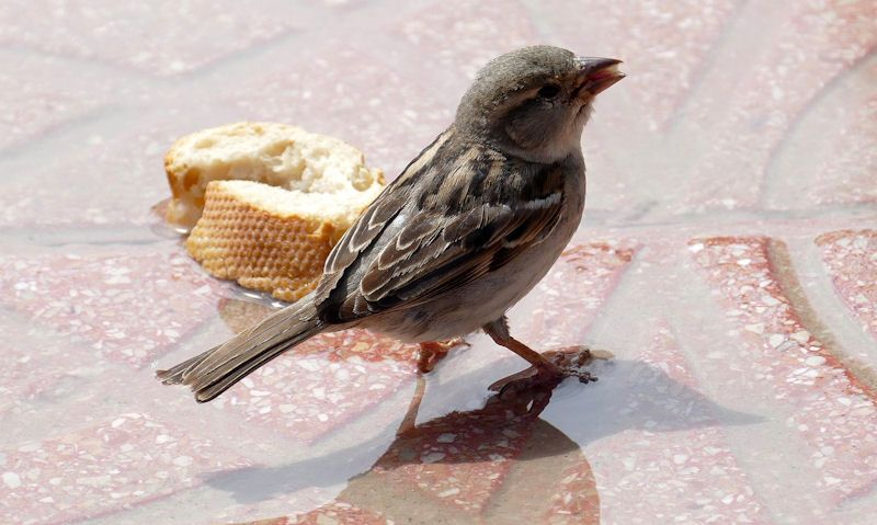 Sparrow besides a white baguette slice
