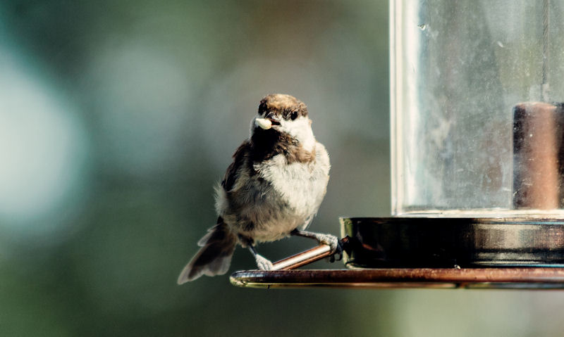 Young sparrow is seen with peanut in beak while perched on feeder