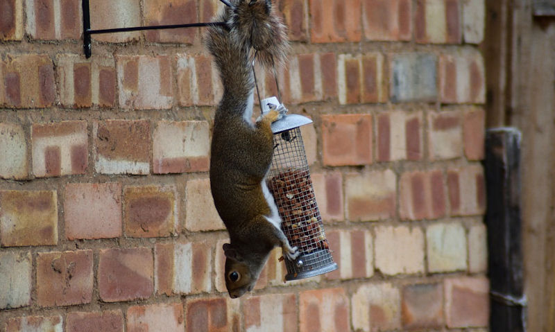 Squirrel clinging to hanging peanut feeder