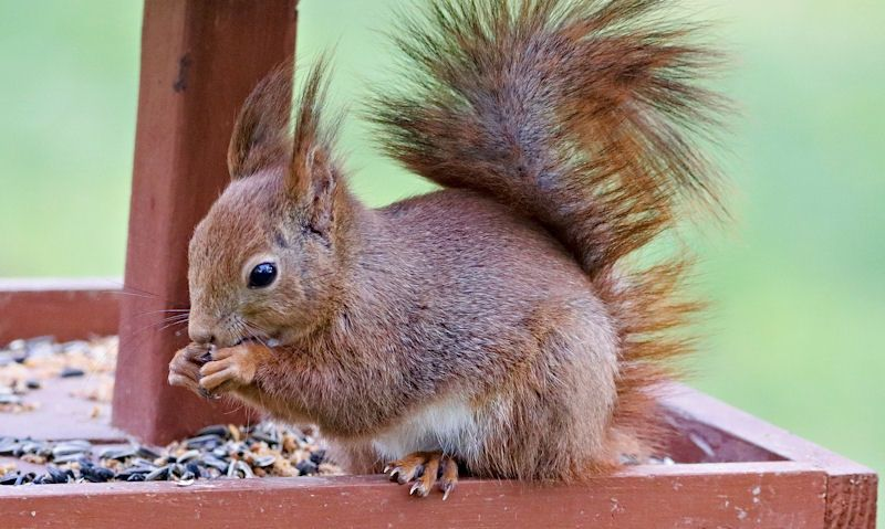 Squirrel tucking into seeds on wooden bird table