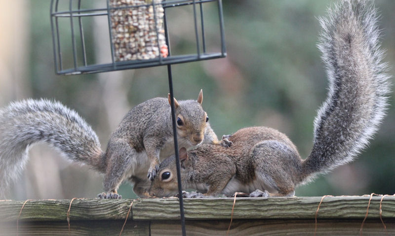Squirrels feeding on top of fence