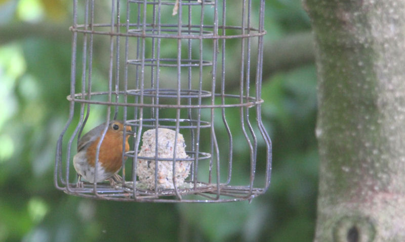 Robin feeding on last suet ball inside squirrel proof fat ball feeder