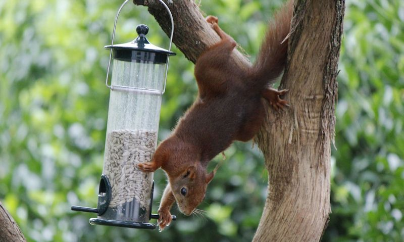Squirrel reaching for seed feeder off tree