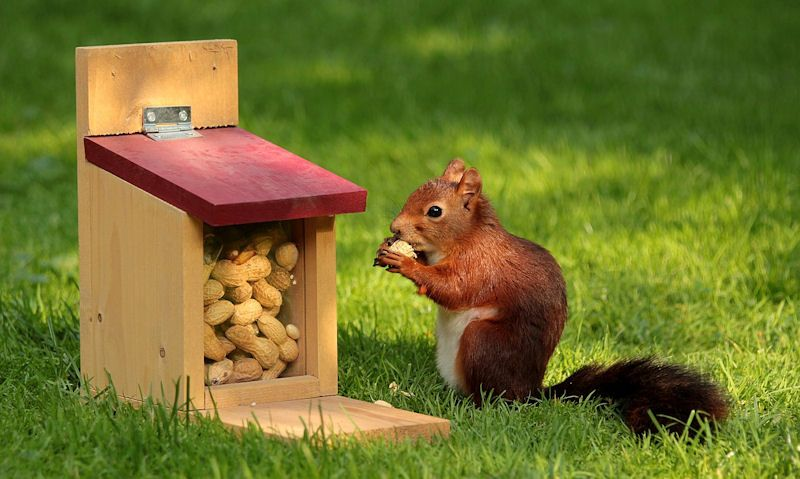 Squirrel eating from wooden squirrel feeder on ground