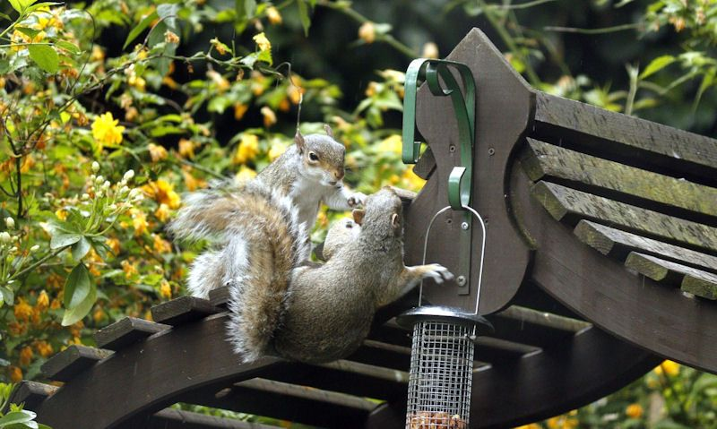 Squirrel reaching for nut feeder on gazebo