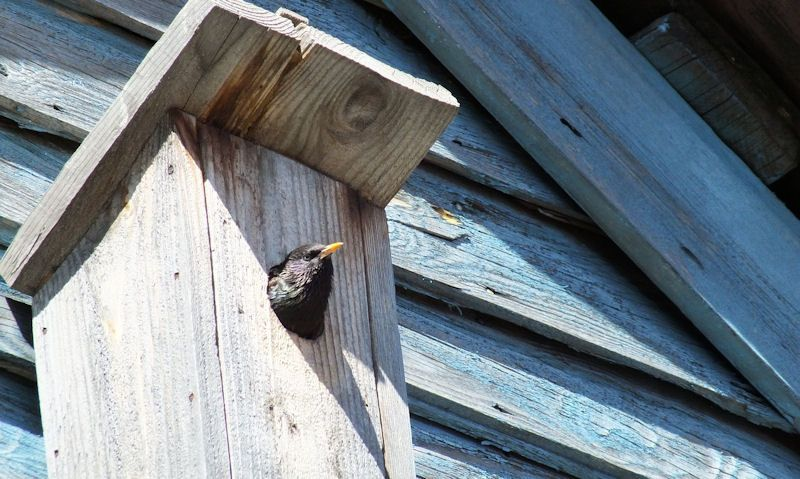 Starling peeking out of bird box hole