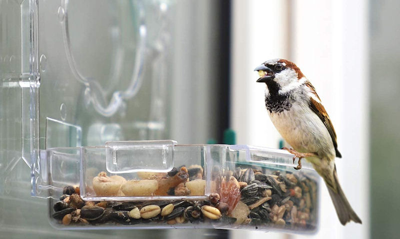 House Sparrow perched on window bird feeder with nut in mouth
