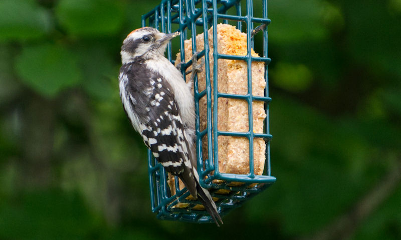 Wild bird is seen eating off hanging suet block feeder