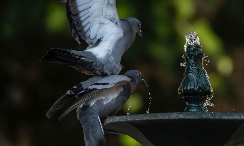 Pigeons drinking from fountain bird bath