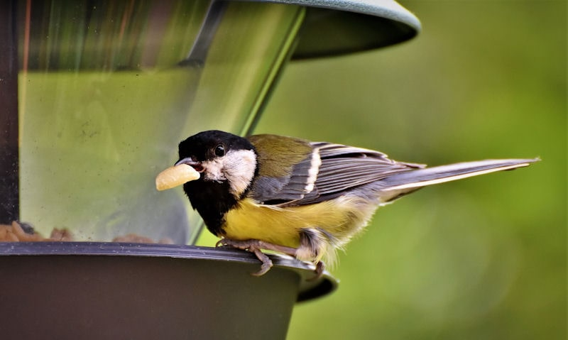 Great Tit perched on rim of hanging panorama seed feeder