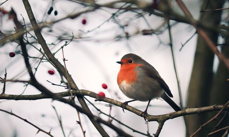 Robin perched on berry tree branch