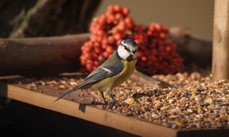 Blue Tit standing amongst seed mix on wooden platform