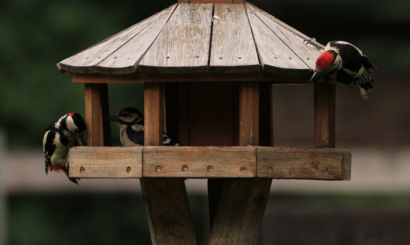 Woodpeckers exploring the interior, exterior of a wooden bird table on stand