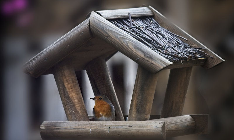 Robin perched on rim of thatched roof bird table, facing out