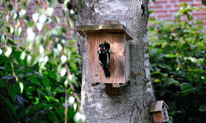 Great Spotted Woodpecker perched on bird box entrance hole mounted on tree trunk