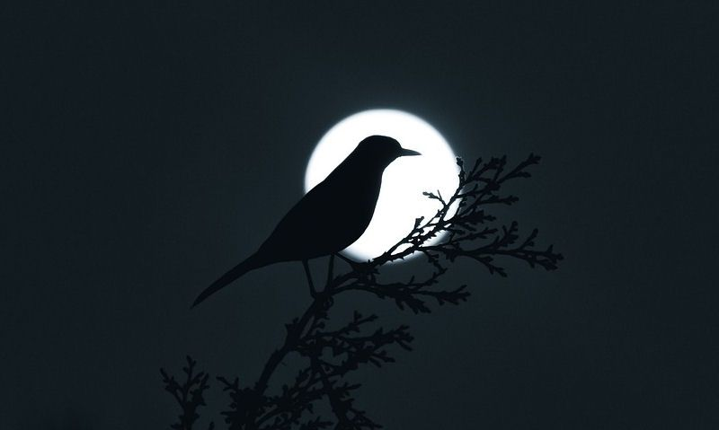 Silhouette of bird with moon in background, bird in forground