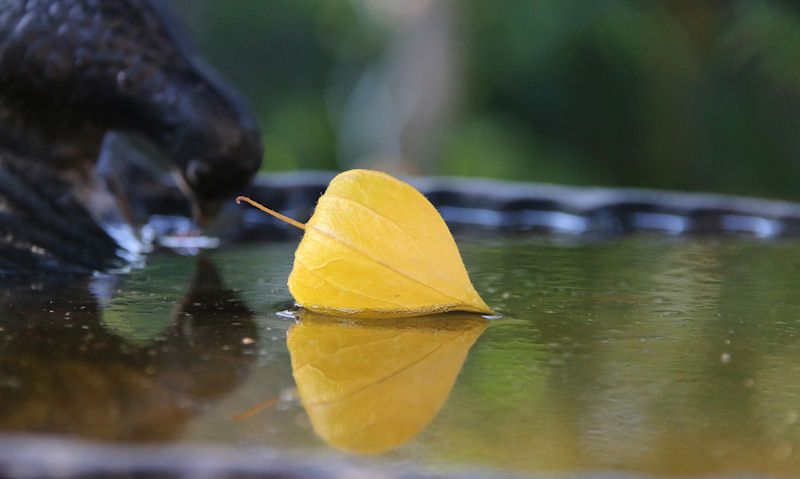 Autumn leave floating in bird bath water