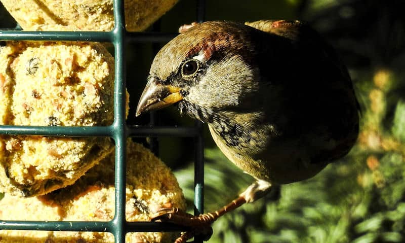 House Sparrow feeding off hanging suet feeder