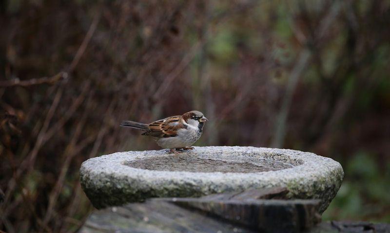 Sparrow perched on stone bird bath