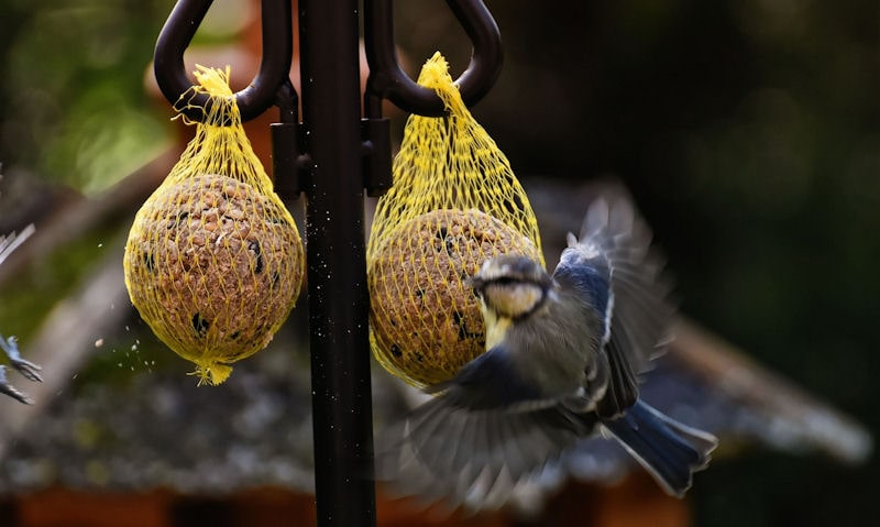 Blue Tit flying away from netted fat balls hanging up on bracket