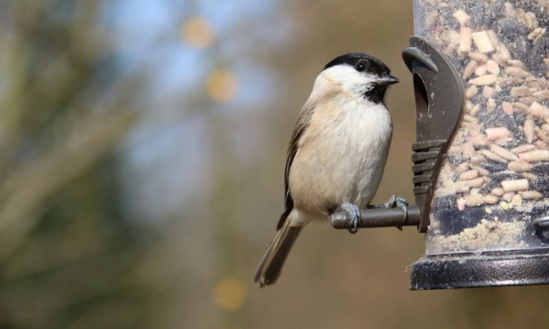 Long Tailed Tit perched on plastic tube seed feeder