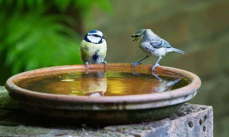 Blue Tit and young perched on water bowl