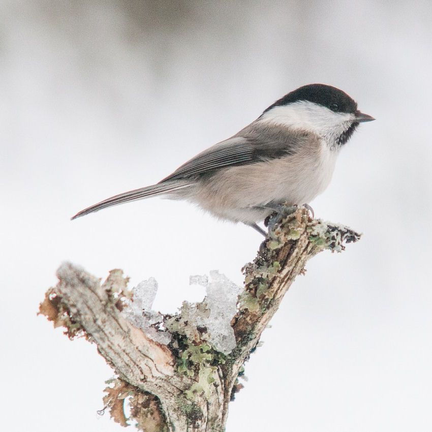 Willow Tit perched on icey branch