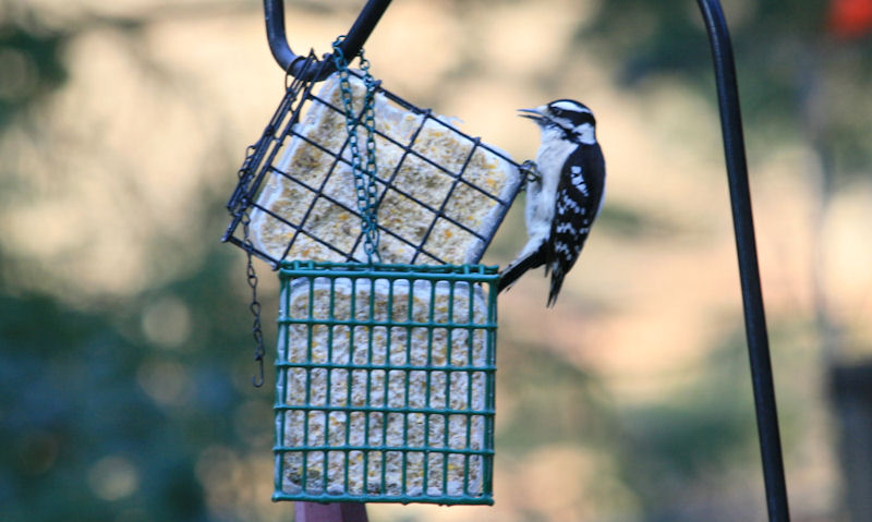 Woodpecker perched on hanging suet block feeder