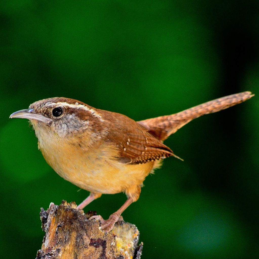 Wren perched on branch